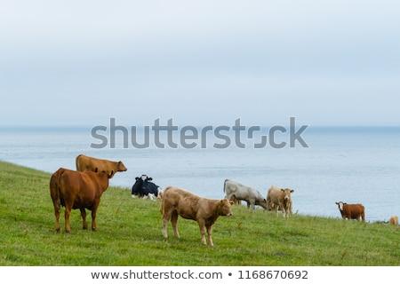 Grazing cow by the coast Stock photo © olandsfokus