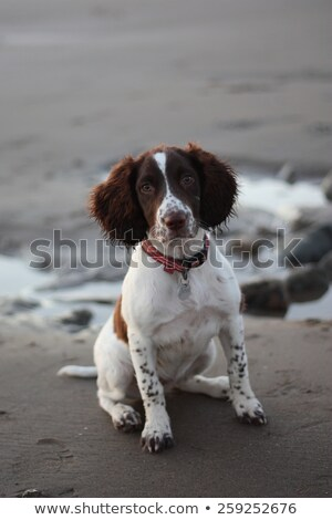 cute working type english springer spaniel pet gundog on a sandy Stock photo © chrisga