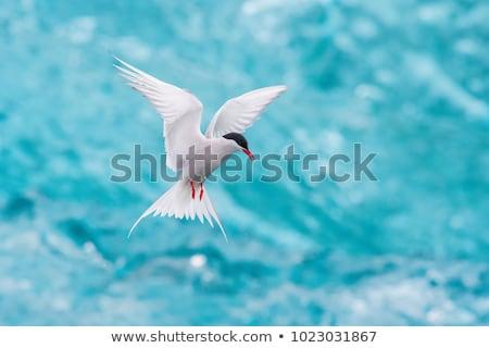 Арктика Flying изолированный белый птица животного Сток-фото © lenm