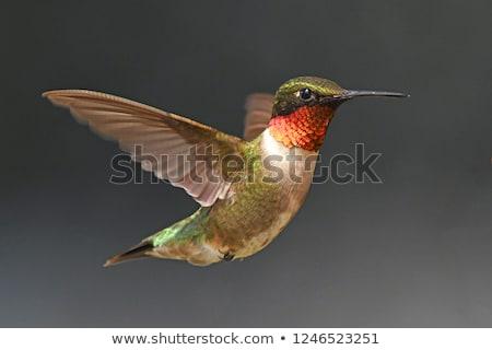 Beija-flor vôo norte Califórnia EUA Foto stock © Backyard-Photography