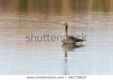 Anser fabalis, Bean Goose, Lower rhine family Stock photo © digoarpi