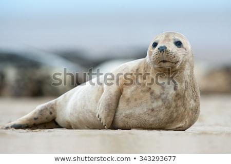 毛皮 · シール · 海岸 · 南 · 島 - ストックフォト © chris2766