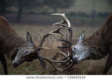Grazing red deer male Stock photo © photosebia