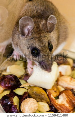 Baby mouse caught by its tail Stock photo © lightkeeper
