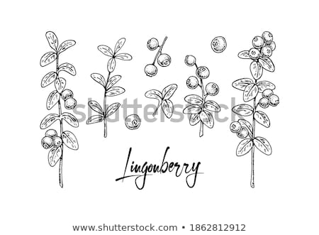 Cowberry in vintage style. Line art vector illustration Stock photo © ConceptCafe