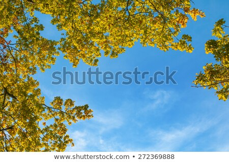 Stock photo: crown of oak tree in indian summer colors