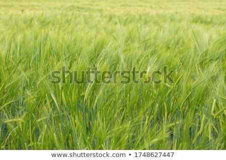 Verde orzo campo messa a fuoco selettiva farm grano Foto d'archivio © stevanovicigor