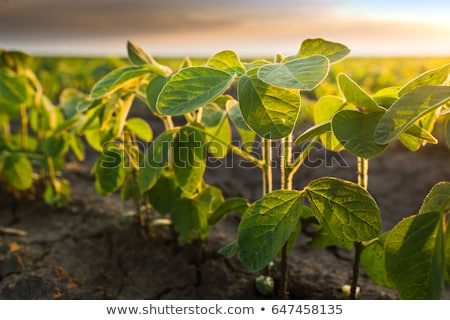 Young soybean plants growing in cultivated field Stock photo © stevanovicigor