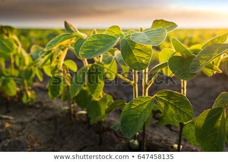 Fiatal szójabab növények növekvő megművelt mező Stock fotó © stevanovicigor