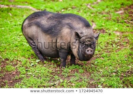 Schwein Bauernhof Freien Natur schwarz Haut Stock foto © OleksandrO