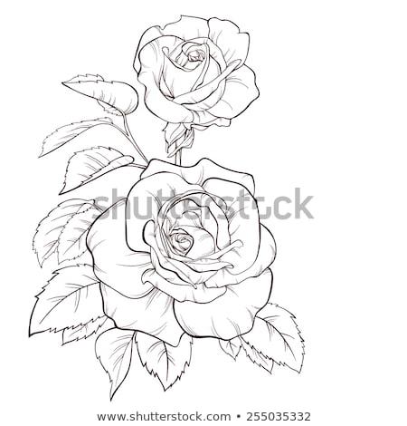 Kettő monokróm rózsa virág természet rajz Stock fotó © blackmoon979