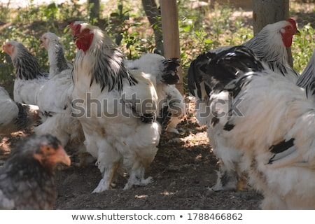 genç · bebek · civciv · tavuk · yumurta · çiftlik - stok fotoğraf © stephaniefrey