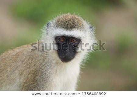 Stock photo: Family of Vervet monkeys sitting in a tree.