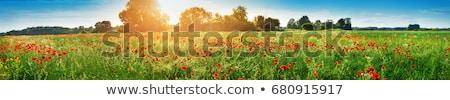 Haşhaş yeşil alan çiçek Stok fotoğraf © inaquim