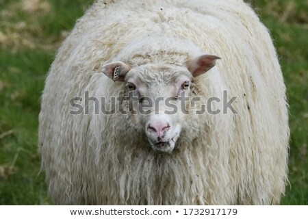 Sheep in pasture in Iceland Stock photo © Kotenko