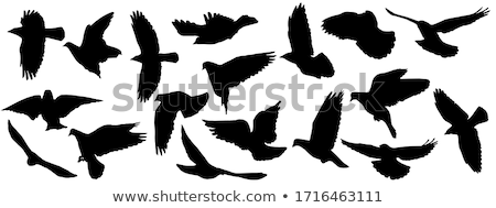 Pigeon silhouette isolated. Black dove Vector illustration Stock photo © MaryValery