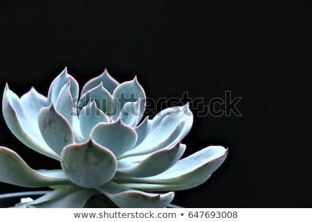 Szczegóły pozostawia zielone Kaktus soczysty odizolowany Zdjęcia stock © artjazz