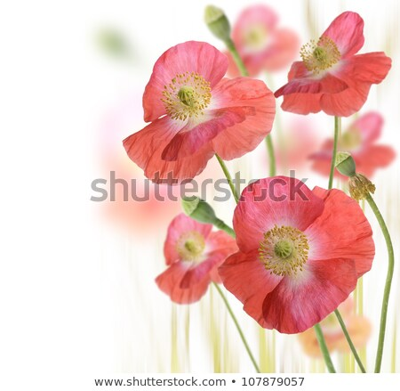 red poppies backround stock photo © milsiart