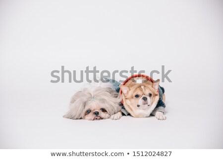 Shih Tzu and chihuahuas Stock photo © cynoclub