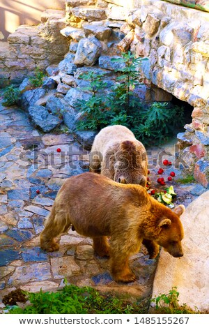 Two brown bears in cave Stock photo © bluering