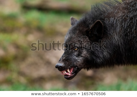 Sinistre peu loup cartoon illustration regarder Photo stock © cthoman