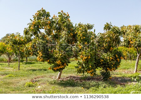 Loquat tree Stock photo © luissantos84