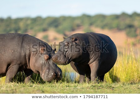 Two Hippos standing in the water. Stock photo © simoneeman
