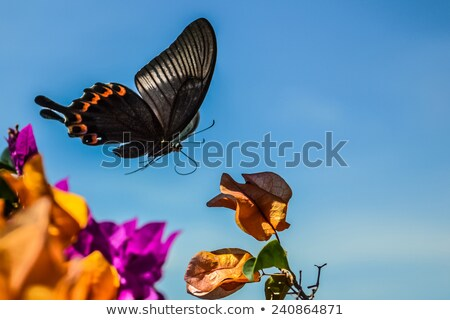 concept of freedom. swallowtail butterfly free flying Stock photo © Ansonstock