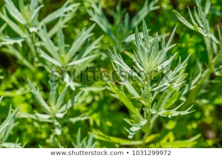 Wormwood (Artemisia absinthium) Stock photo © rbiedermann