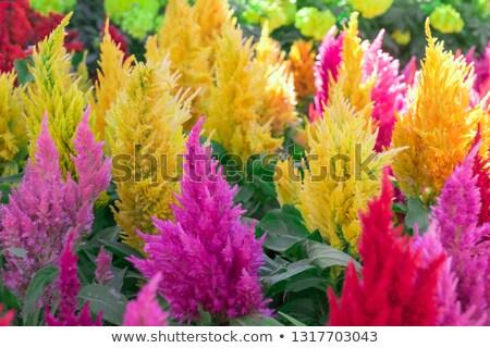 Brilhante vermelho flores turva ganância cor Foto stock © backyardproductions