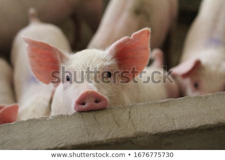 свинья большой чешский небольшой фермы счастливым Сток-фото © jonnysek