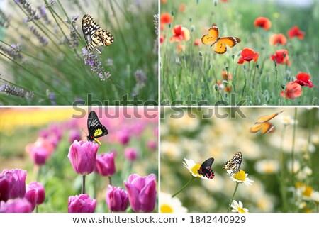 Many butterflys  Stock photo © digoarpi