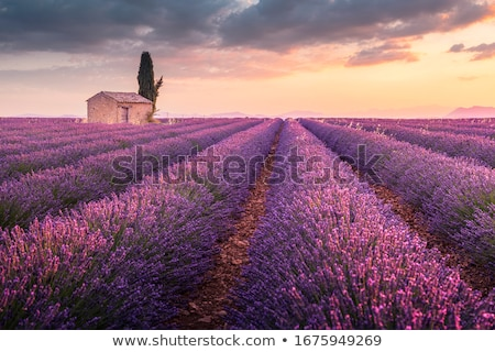 Lavender field and tree in Provence Stock photo © vwalakte