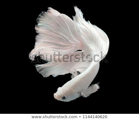 fighting fish stock photo © aeyzrio