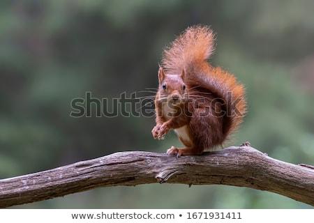 Eurasian red squirrel, sciurus vulgaris Stock photo © Elenarts