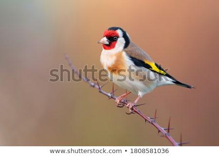 Yaz tüy kırmızı siyah sonbahar altın Stok fotoğraf © digoarpi