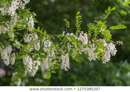 Black locust (Robinia pseudoacacia) Stock photo © rbiedermann