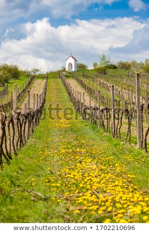 vineyard near hnanice southern moravia czech republic stock photo © phbcz