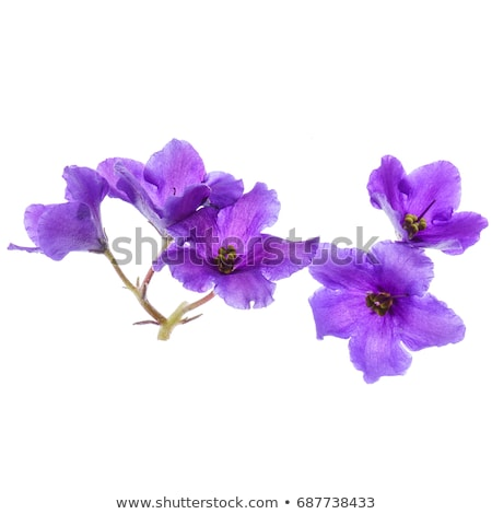 A flowering plant with violet flowers Stock photo © bluering