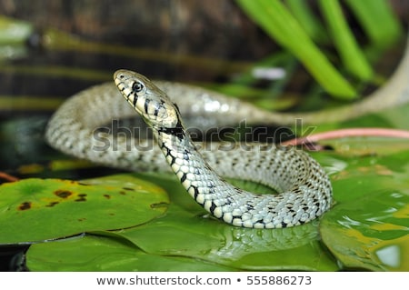 Vert serpent étang illustration nature laisse Photo stock © bluering