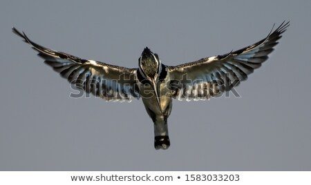 Pied kingfisher on a branch in the Kruger National Park. Stock photo © simoneeman