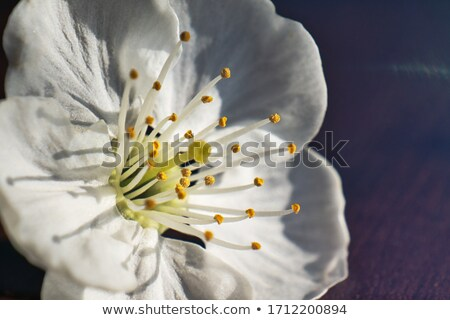 stamens Stock photo © njaj