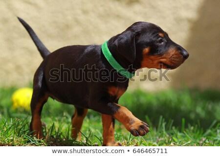 puppy · terriër · witte · mand - stockfoto © cynoclub