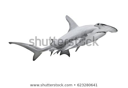 Hammerhead shark on white background Stock photo © bluering