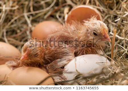 newly hatched baby chicken drying in the nest stock photo © lightkeeper