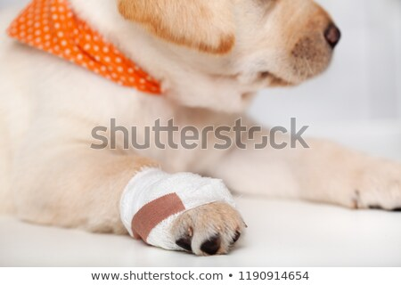 Detail of injured labrador puppy dog with bandage on its paw Stock photo © ilona75