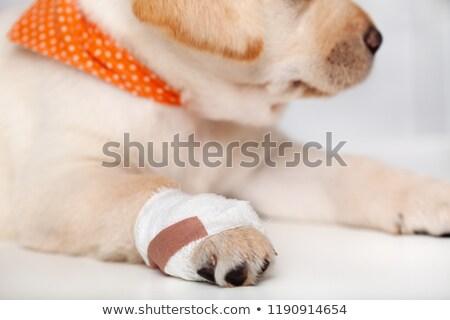 подробность · раненый · Лабрадор · щенков · собака · повязка - Сток-фото © ilona75