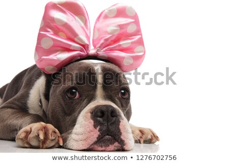 close up of lying american bulldog wearing pink ribbon headband Stock photo © feedough