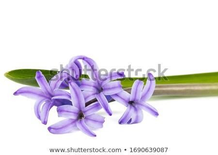 Stockfoto: Violet Hyacinth Flowers