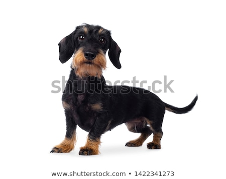 Adult black tan wirehaire Dachshund dog on white Stock photo © CatchyImages
